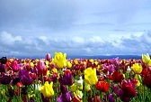 S_13562763-colorful-tulip-field-with-a-darkening-sky.jpg